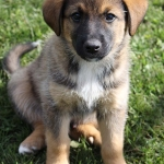 Image of a german shepherd puppy